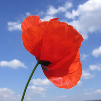 Why do People wear Poppies as a Symbol of Remembrance Day?